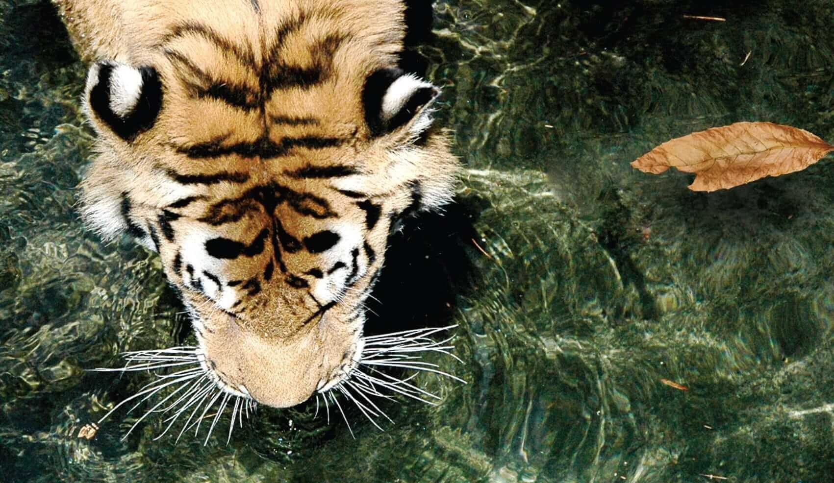 Tigers Drinking Water