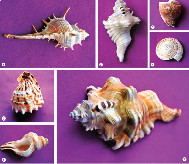 Types of Seashells